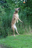 Jumping dog. In motion Royalty Free Stock Images
