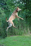 Jumping dog. In motion stock image