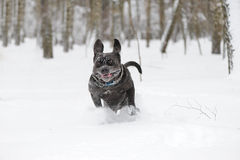 Jumping dog Neapolitan Mastiff. Winter picture Royalty Free Stock Image