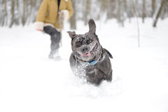 Jumping dog Neapolitan Mastiff Stock Photography