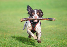 Jumping dog. Running / jumping dog at speed with stick royalty free stock photos