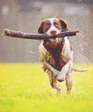 Jumping dog. Running / jumping wet dog at speed with stick royalty free stock images