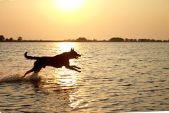 Jumping dog in the sea Stock Images