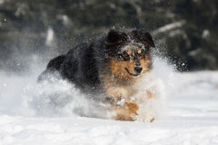 Jumping dog in the snow Royalty Free Stock Images