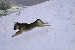 Jumping Dog In The Snow Stock Images