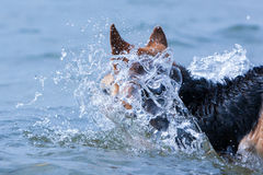 Jumping dog in splashes of water Royalty Free Stock Images