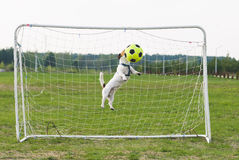 Jumping Dog strikes football ball by head. Funny Jack Russell Terrier playing soccer Royalty Free Stock Photography