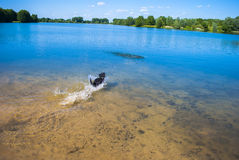 Jumping dog. Dog swimming in lake - playing Stock Photography