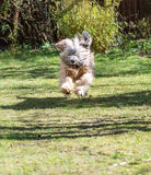 Jumping Dog. Tibetan terrier dog jumping in the garden Royalty Free Stock Photography
