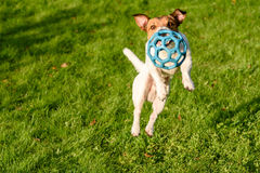 Jumping dog (view from top). Jack Russell Terrier pet playing with a ball Royalty Free Stock Photos