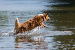 Jumping dog in the water. Jumping Australian Shepherd dog in the water Stock Image