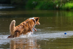 Jumping dog in the water. Jumping Australian Shepherd dog in the water stock photo