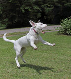 Jumping Dog. Young white dog jumping in the grass Stock Photo