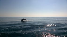 Jumping dolfijn Stock Foto's