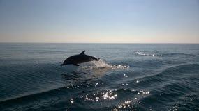 Jumping dolfijn Royalty-vrije Stock Foto's