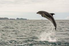 Jumping dolfijn Stock Afbeeldingen