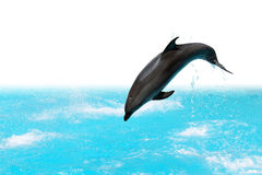 Jumping Dolphin. Dolphin jumping out of the water isolated on white background with clipping path stock photos
