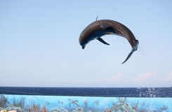Jumping dolphin. A dolphin in mid air jumping over a rope during a performance Royalty Free Stock Photo