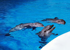Dolphins in the pool Stock Image