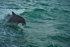 Dolphin playing in sea royalty free stock image