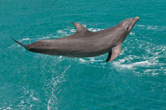 Jumping Dolphin. A Jumping Dolphin during a Dolphin Show in the Cariben royalty free stock photos