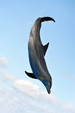 Jumping Dolphin. A Bottlenose Dolphin jumping in the air in front of a blue sky royalty free stock photo