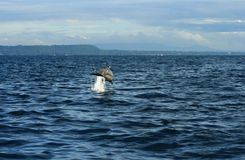 Jumping dolphin. Jumping happy wild dolphin in the sea royalty free stock photo