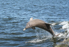 Jumping Dolphin. A dolphin jumping up out of the water royalty free stock image
