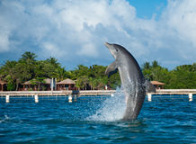 Jumping Dolphin. Playful dolphin jumping up from water in Honduras stock images