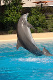 Jumping Dolphin. Bottle-nosed dolphin jumping in swimming pool royalty free stock photo