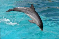 Jumping Dolphin. Bottlenose dolphin jumping over an outstretched pole Stock Photos