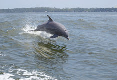 Jumping Dolphin royalty free stock photography