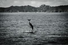 Jumping dolphin. Bay of Islands, jumping dolphin in black and white stock images