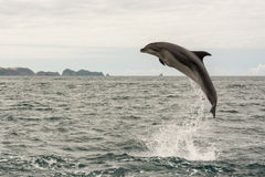 Jumping dolphin. In Bay of Islands, New Zealand stock images