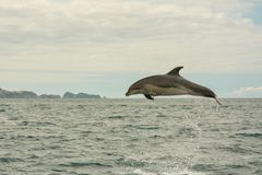 Jumping dolphin in Bay of Islands. New Zealand stock photography