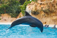 Jumping dolphin in blue water. Close-up view stock photos