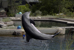 A jumping dolphin Royalty Free Stock Images