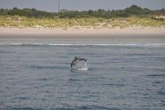 Jumping Dolphin. Caught in Atlantic Ocean stock image