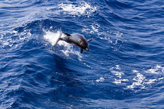 Jumping dolphin in the deep blue sea. A picture of a jumping dolphin in the deep blue sea royalty free stock photography