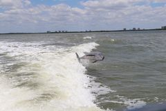 Jumping Dolphin. Out sea royalty free stock photo