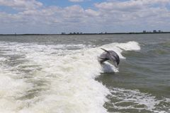 Jumping Dolphin. Out sea stock photography