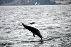 Jumping Dolphin in Kaikoura, New Zealand Stock Images