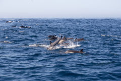 Jumping Dolphin. In the ocean royalty free stock photography