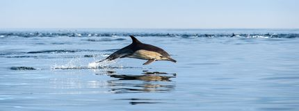 Jumping Dolphin in the ocean. Dolphin in the ocean. Dolphins swim and jumping out of water. The Long-beaked common dolphin. Scientific name: Delphinus capensis stock photo