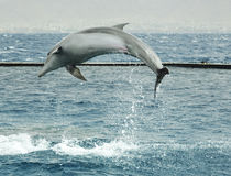 Jumping dolphin. In Red sea, Eilat, Israel royalty free stock image