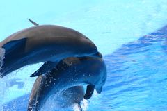 Jumping dolphin trio. Three dolphins make a show Royalty Free Stock Image