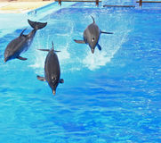 Jumping dolphin trio. Three dolphins make a show Stock Images