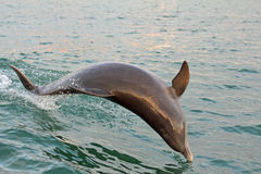 Jumping dolphin. Wild dolphin jumping in Clearwater, Florida royalty free stock photo
