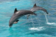 Jumping Dolphins. Bottlenose dolphins jumping out of the blue water Royalty Free Stock Photography