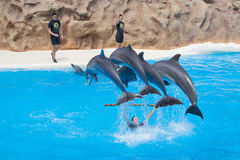 Jumping dolphins at dolphin show Stock Images